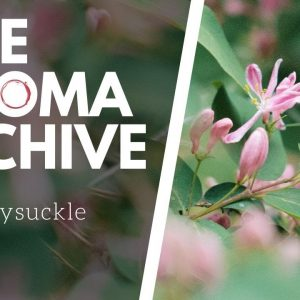 The Smell of HONEYSUCKLE in Wine - The Aroma Archive Ep19 - Honeysuckle
