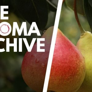 The Smell of PEAR in Wine - The Aroma Archive Ep20 - Pear