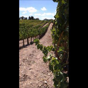 Zaca Mesa Vineyard Santa Ynez