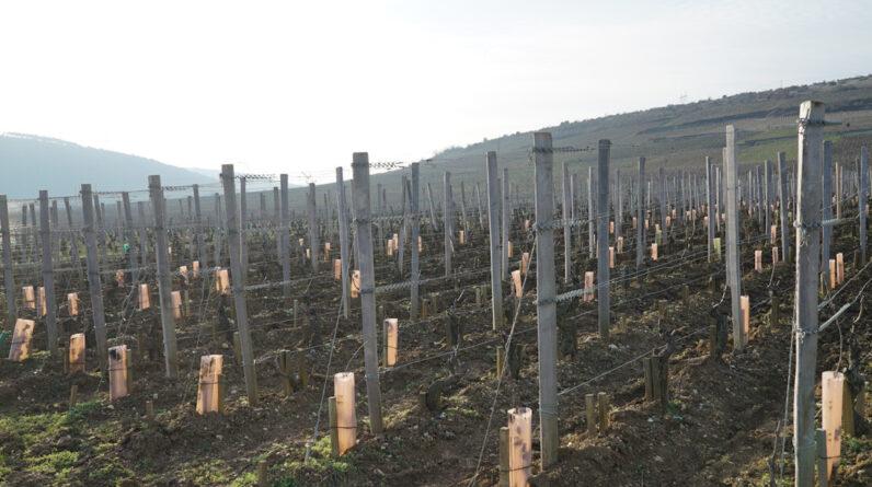 burgundy-viticulture-101:-2